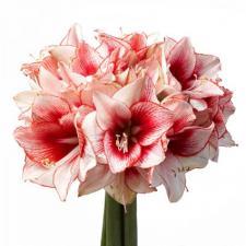 Букет из бело-розовых амариллисов (гиппеаструмов)